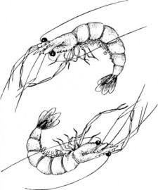 free vector One pair of lobster vector