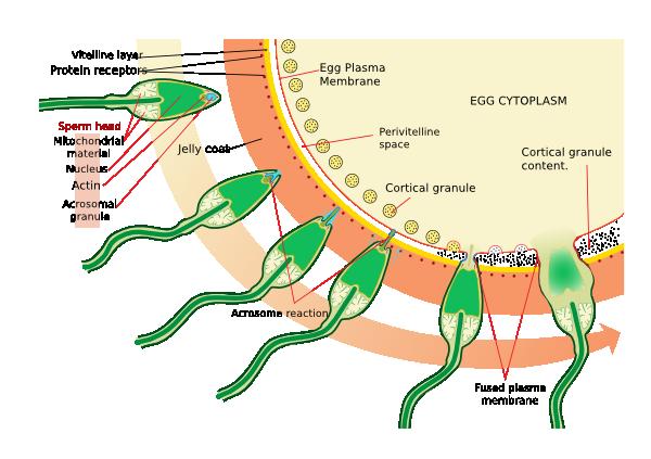 free vector Acrosome Reaction Diagram clip art