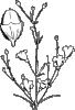 free vector Agalinis Obtusifolia clip art