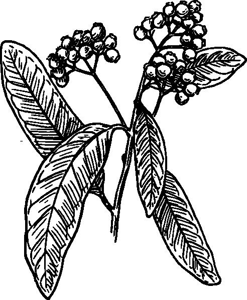 free vector Allspice clip art