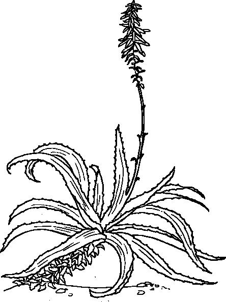 free vector Aloe clip art