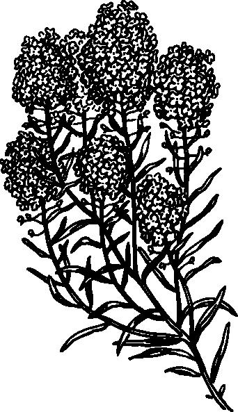 Alyssum flower meaning