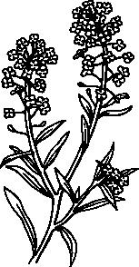 free vector Alyssum clip art