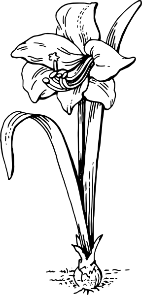 free vector Amaryllis clip art