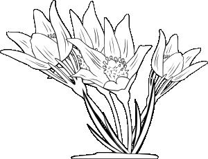 free vector Anemone Patens clip art