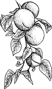 free vector Apricot clip art