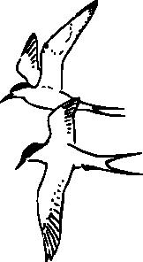 free vector Arctic Tern clip art