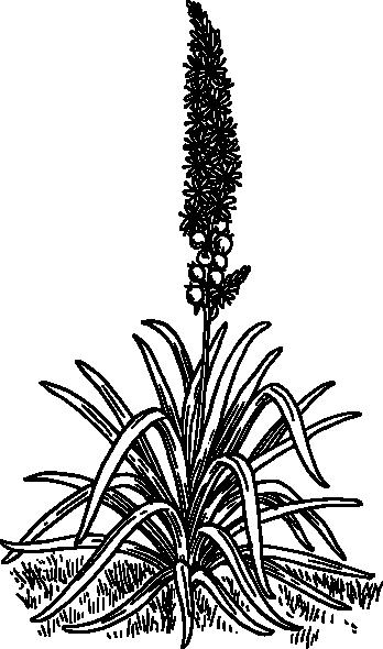 free vector Asphodel clip art