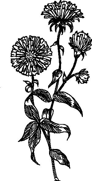 free vector Aster clip art
