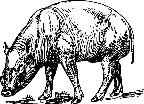 free vector Babirusa  clip art