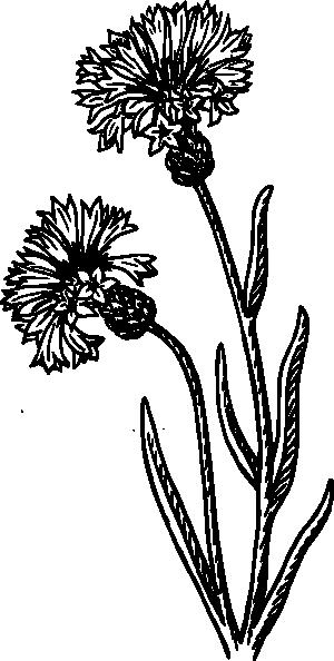 free vector Bachelor S Button clip art
