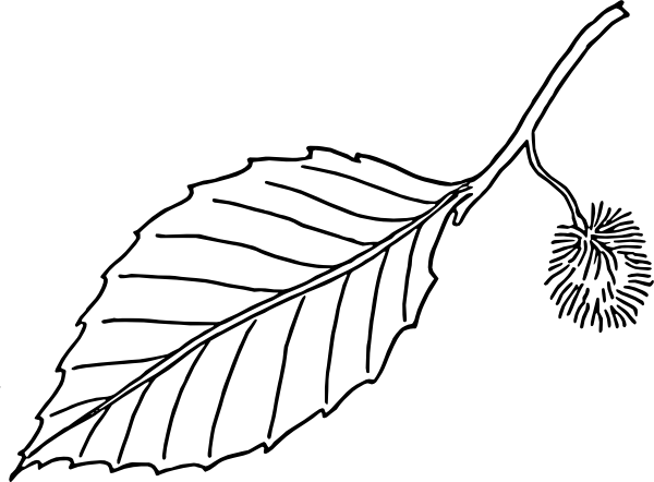 free vector Beech Leaf Outline clip art