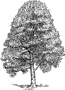 free vector Beech Tree clip art