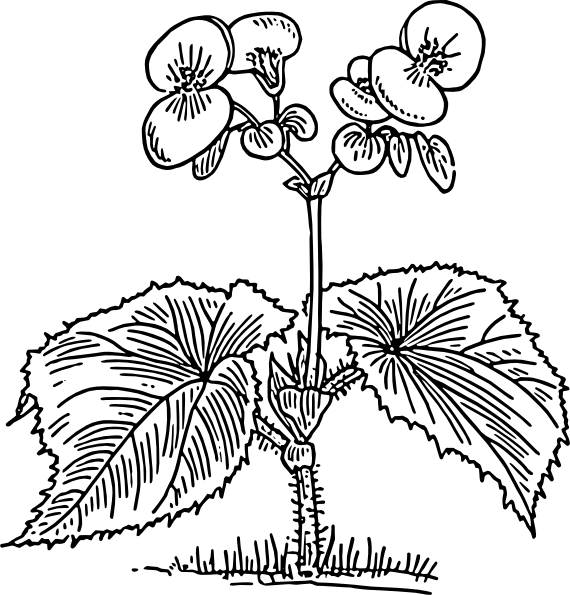 free vector Begonia clip art
