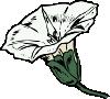 free vector Bindweed clip art