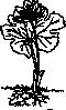 free vector Bloodroot clip art