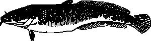 free vector Burbot Fish clip art