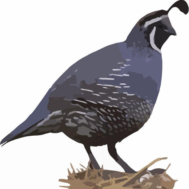 clipart of quail - photo #12