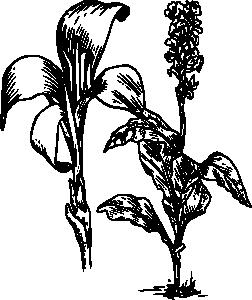 free vector Canna clip art