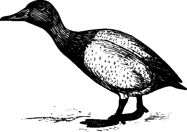 free vector Canvasback clip art