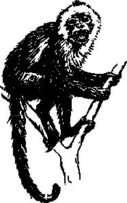 free vector Capuchin Monkey clip art