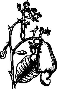 free vector Cashew clip art