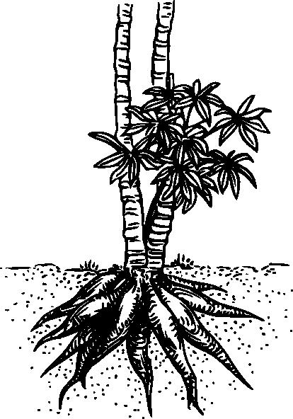 free vector Cassava Yuca clip art