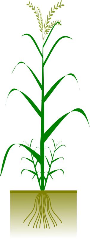 free vector Cereal plant