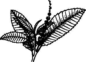 free vector Chestnut clip art