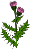 free vector Cirsium Arvense clip art