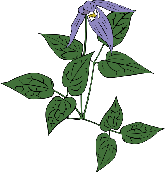 free vector Clematis Occidentalis clip art