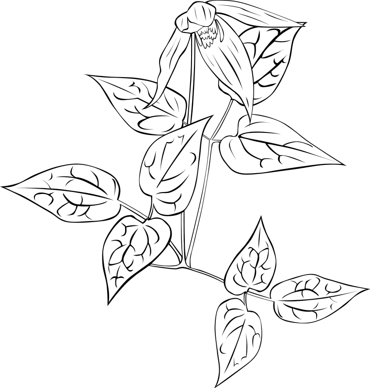 free vector Clematis occidentalis