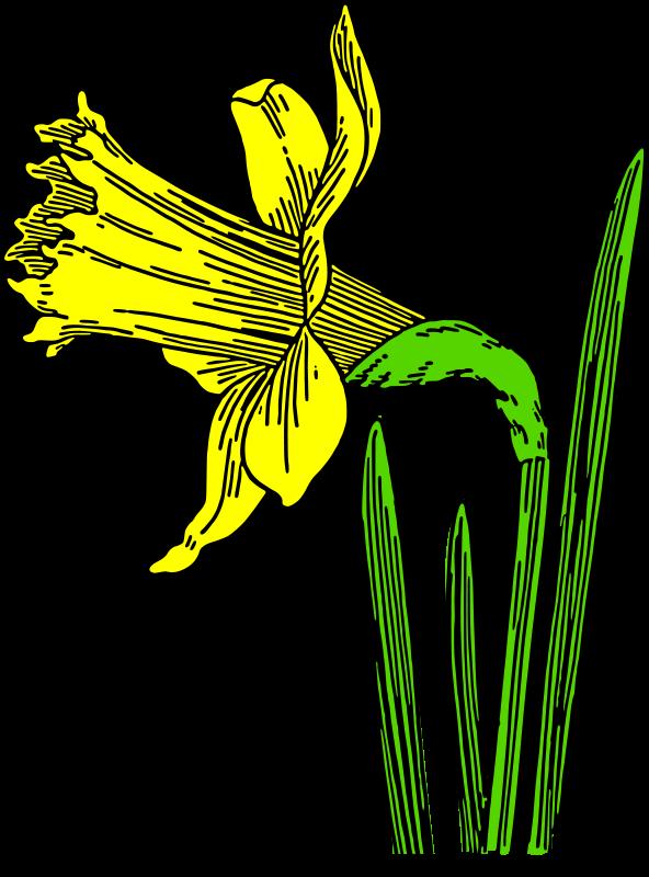 free vector Colored daffodil