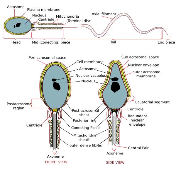 free vector Complete Diagram Of A Human Spermatozoa clip art