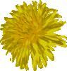 free vector Dandelion clip art