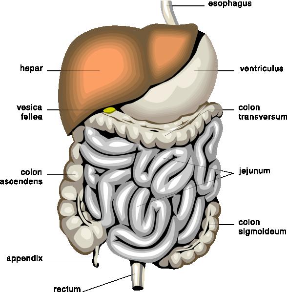 free vector Digestive Organs Medical Diagram clip art