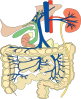 free vector Digestive Organs Medical Diagram clip art