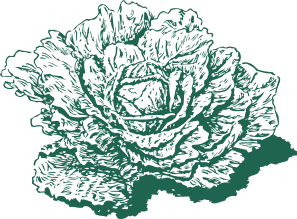free vector Dutch Cabbage clip art