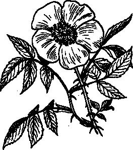 free vector Eglantine Rose clip art