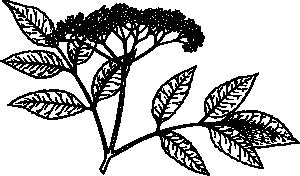 free vector Elderberry clip art