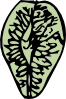 free vector Elm Seed clip art