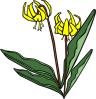 free vector Gg Erythronium Grandiflorum clip art