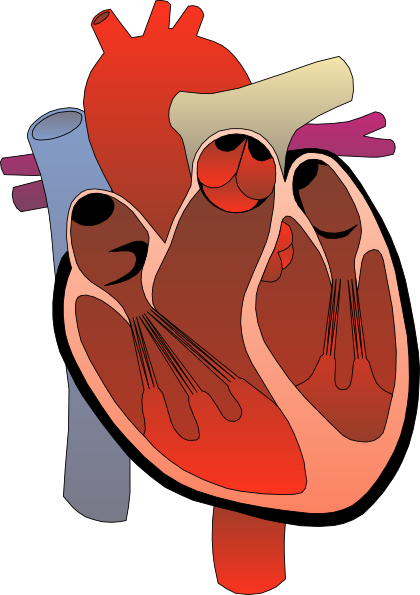 Heart medical diagram clip art free vector 4vector free vector heart medical diagram clip art ccuart Image collections