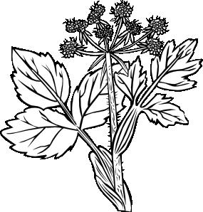 free vector Heraculeum Lanatum clip art