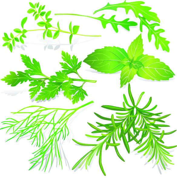 free vector Herbal leaves 05 vector