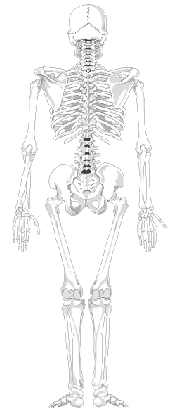 human skeleton back no text no color clip art free vector
