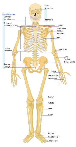 free vector Human Skeleton Front En clip art
