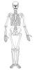 free vector Human Skeleton Front No Text No Color clip art