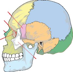 free vector Human Skull Nolables clip art