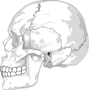 free vector Human Skull Side View clip art
